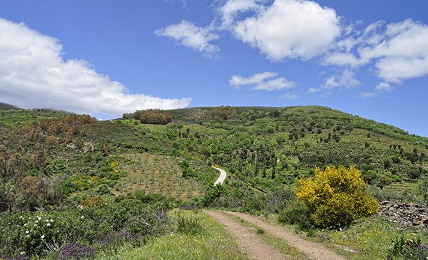 A hill covered in olive trees. Public domain image.